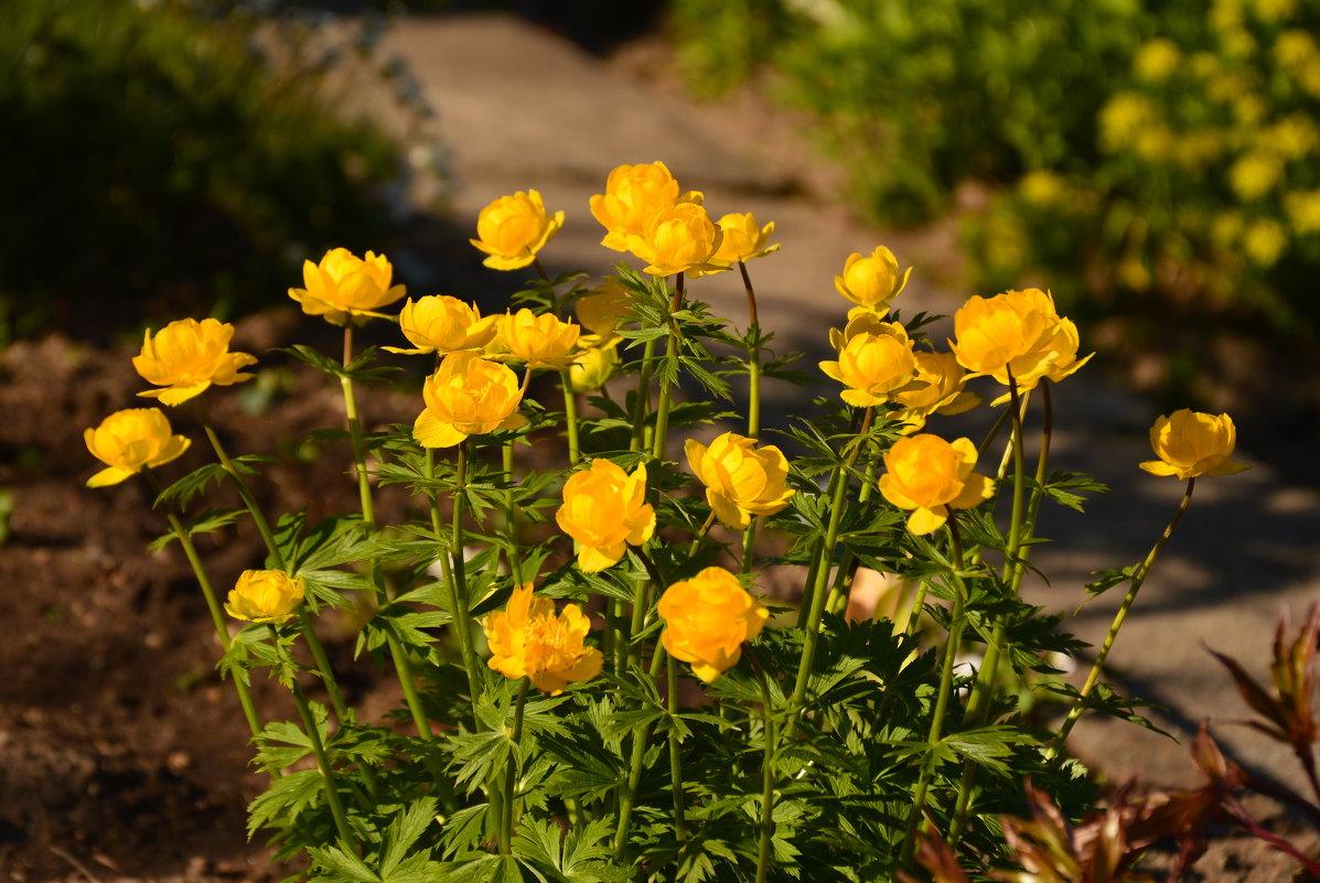 Купальница. Любимые цветы из моего детства - Мария