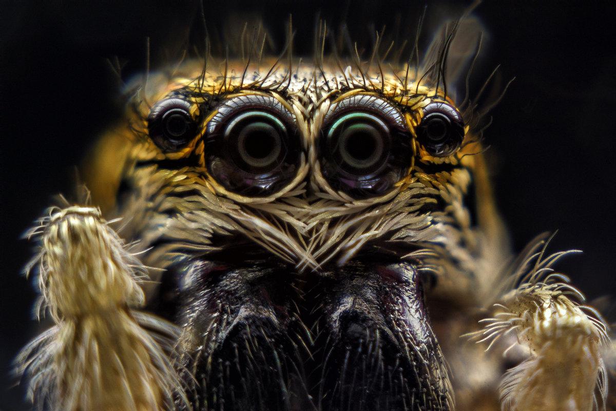 Багира Киплинга (паук скакун) - Серж