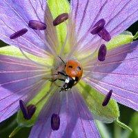 Цветок  и  жук :: Геннадий С.