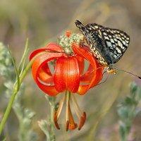 Цветок и бабочка.. :: Ирина Коледова