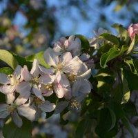 Яблони в цвету :: Сергей М