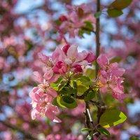 Цветение сакуры :: Елена Виноградова
