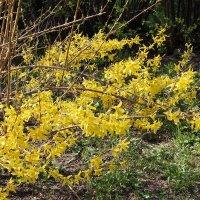 Желтое настроение весны. :: Людмила В.
