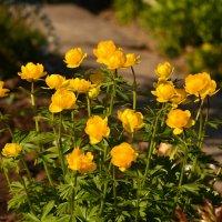 Купальница. Любимые цветы из моего детства :: Мария