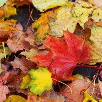 Краски осенних листьев :: Алина
