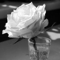 белая роза эмблема... :: Сергей Черных
