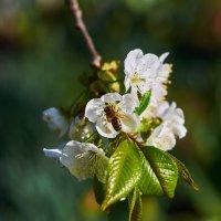 Пчела в пыльце :: Вера Корниенко