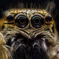 Багира Киплинга (паук скакун) :: Серж