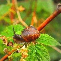 улитка на листе малины :: Танзиля Завьялова