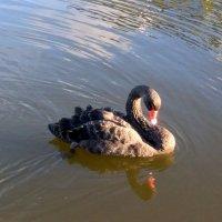 А черный лебедь... :: ast62