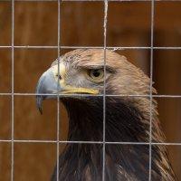 Птица в неволе... :: Олег Фролов