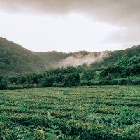 Чайные плантации в Краснодарском крае :: Kate Knyazeva