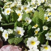 примулы цветы :: вячеслав коломойцев
