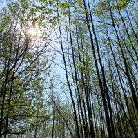 Утро в весеннем лесу. :: Милагрос Экспосито