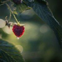 ягода малина :: Александр