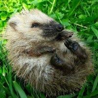 Я не колючий, а маленький и мягкий ! :: Юрий Пучков