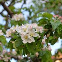 Цвет яблони :: MargoS29