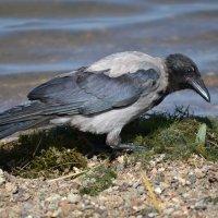 Рыбалка серенькой вороны... :: Андрей Хлопонин