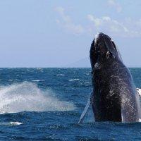 фото-охота на горбатых китов! :: Станислава Боо