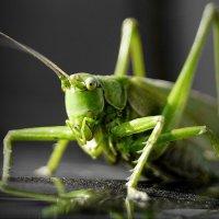 Grasshopper :: A. SMIRNOV