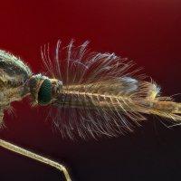Комар обыкновенный :: Серж