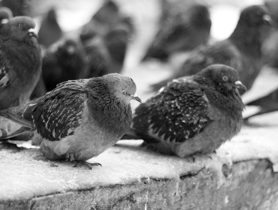 голуби - юрий мотырев