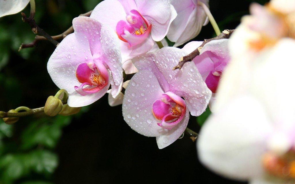 Орхидейка - Алина Троицкая