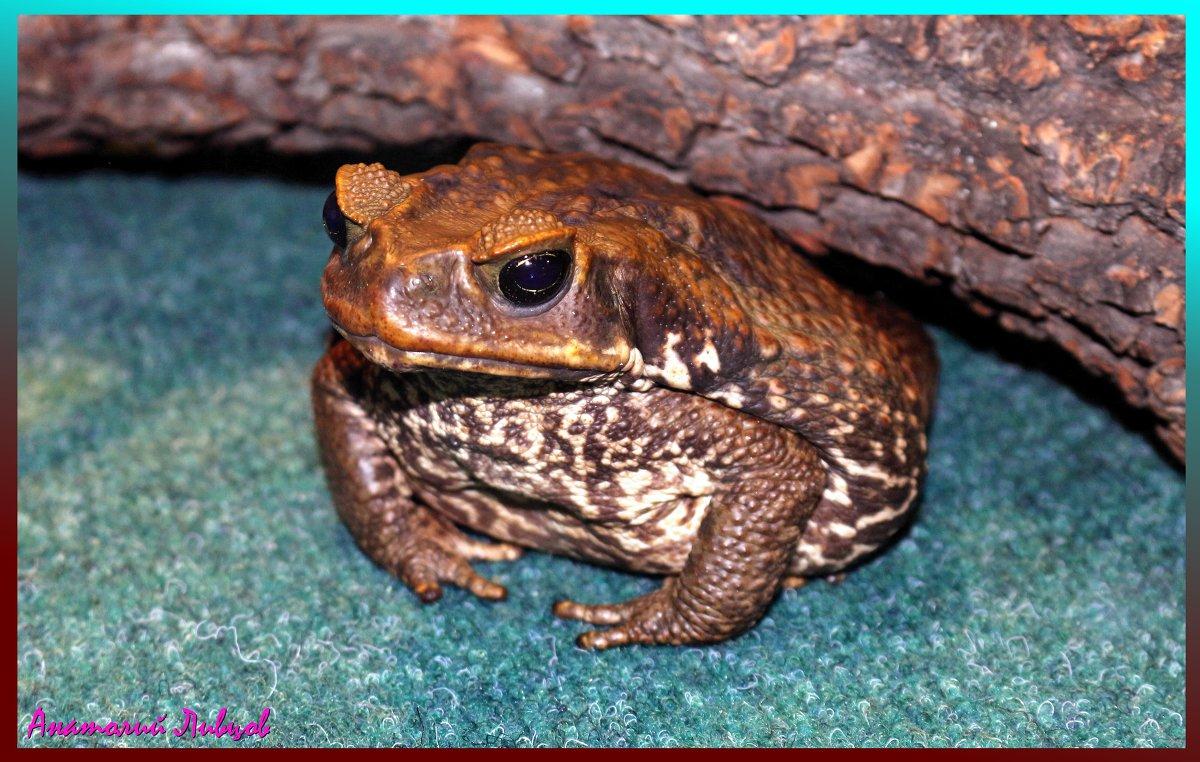 Большая жаба жаба ага амфибия