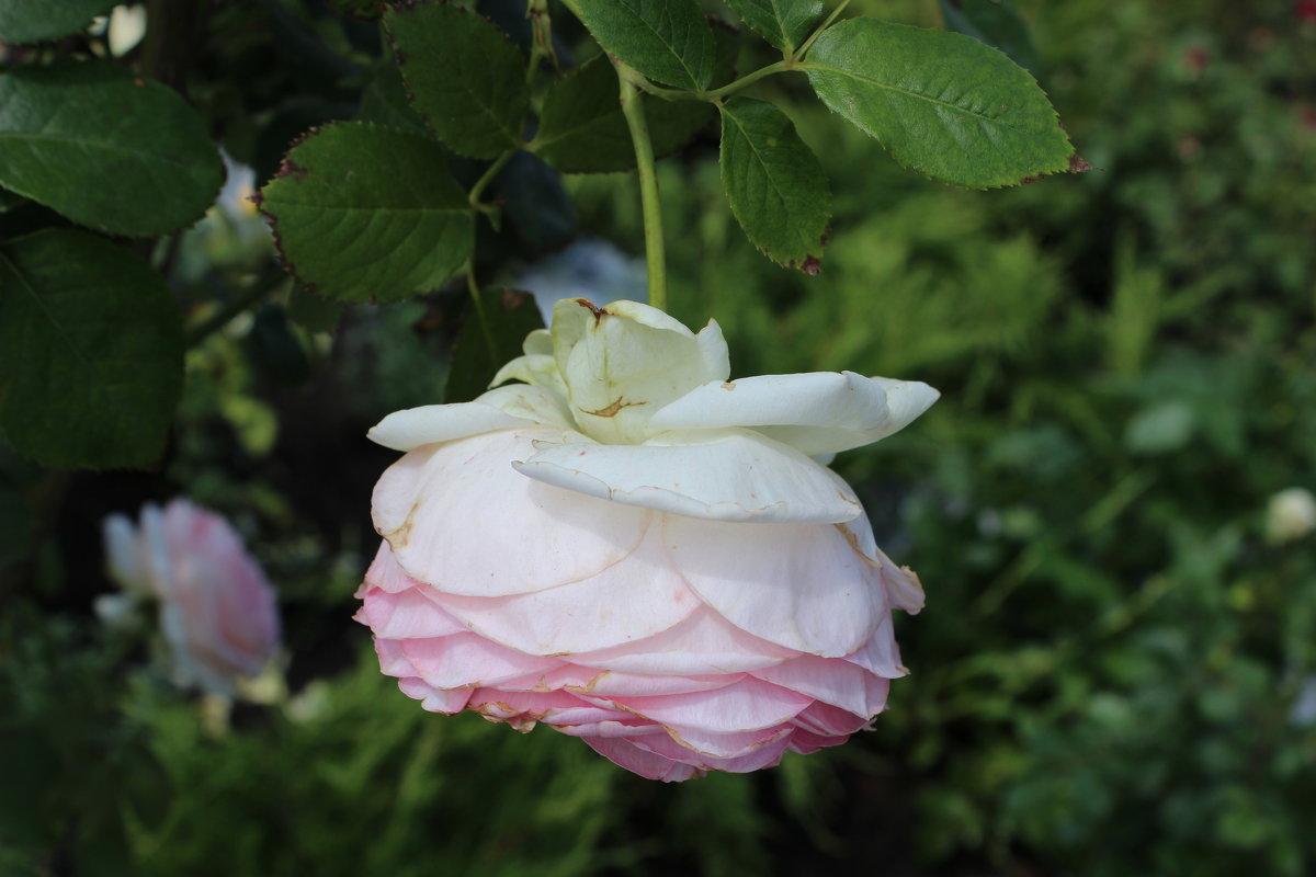 Роза - Ксения