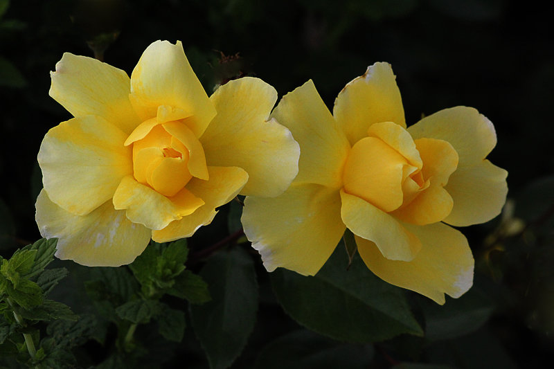 Жёлтые розы - Nikolay Monahov