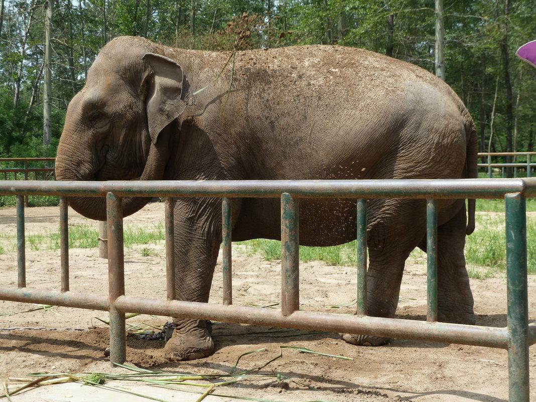 Слон обсыпает себя землёй - Галина