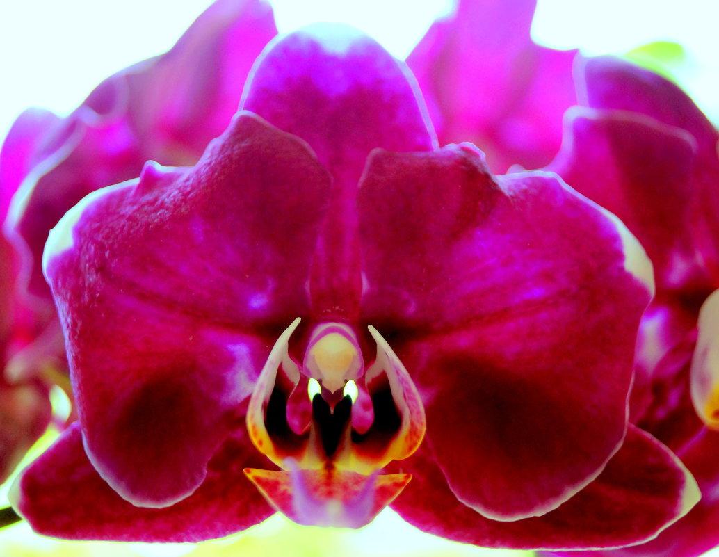 Орхидея фаленопсис... - Наталья Агеева