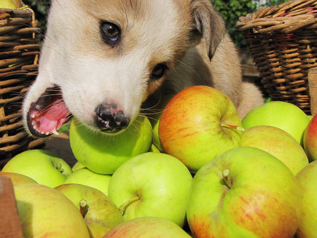 Сегодня ем только яблоки! - Геннадий Ячменев