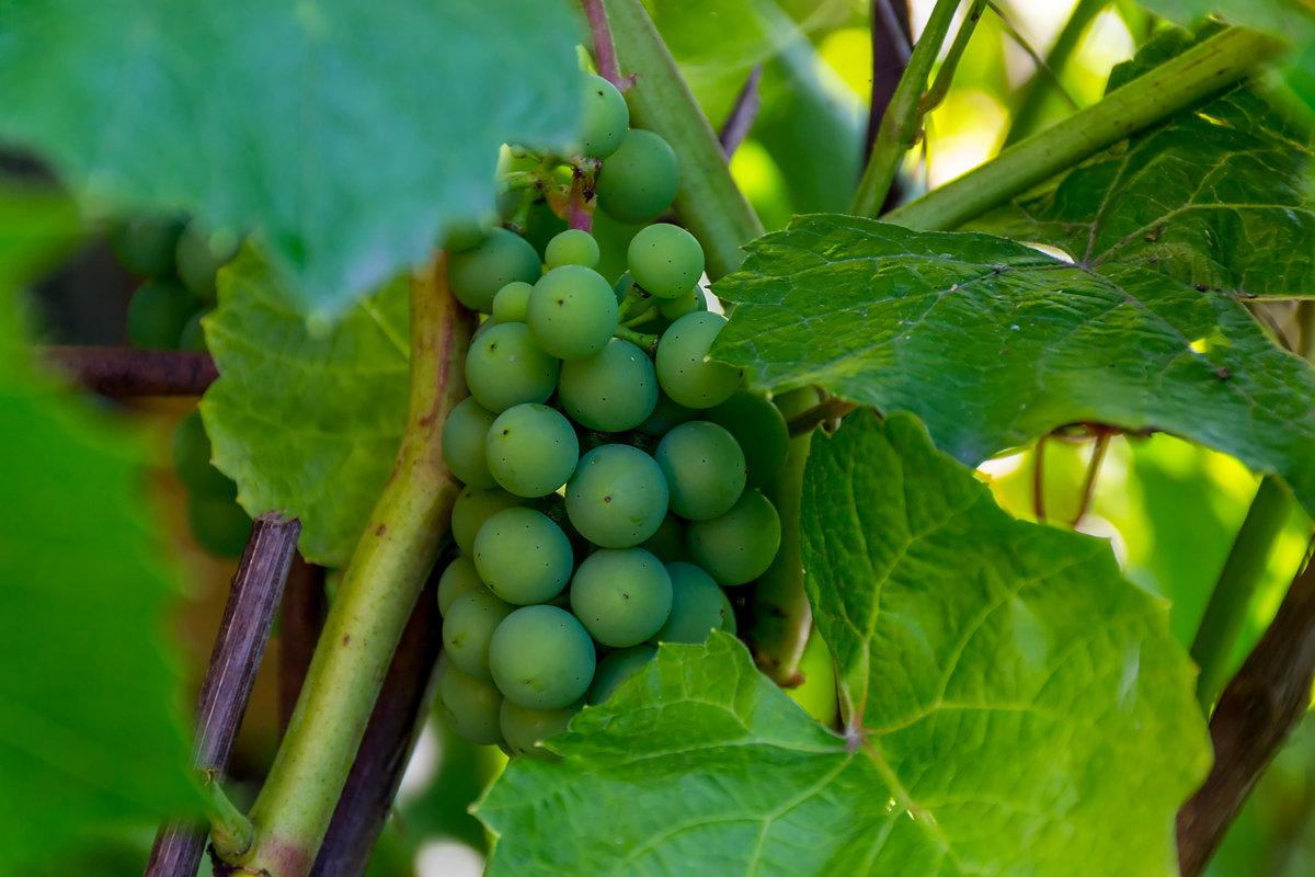 И в Сибири растёт виноград - Sergey Kuznetcov