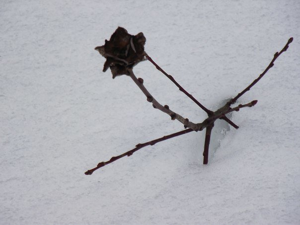 Зимняя Роза - Наталья