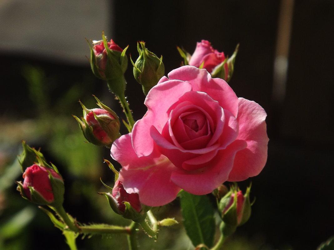 Милая роза - Ирина Шершнева