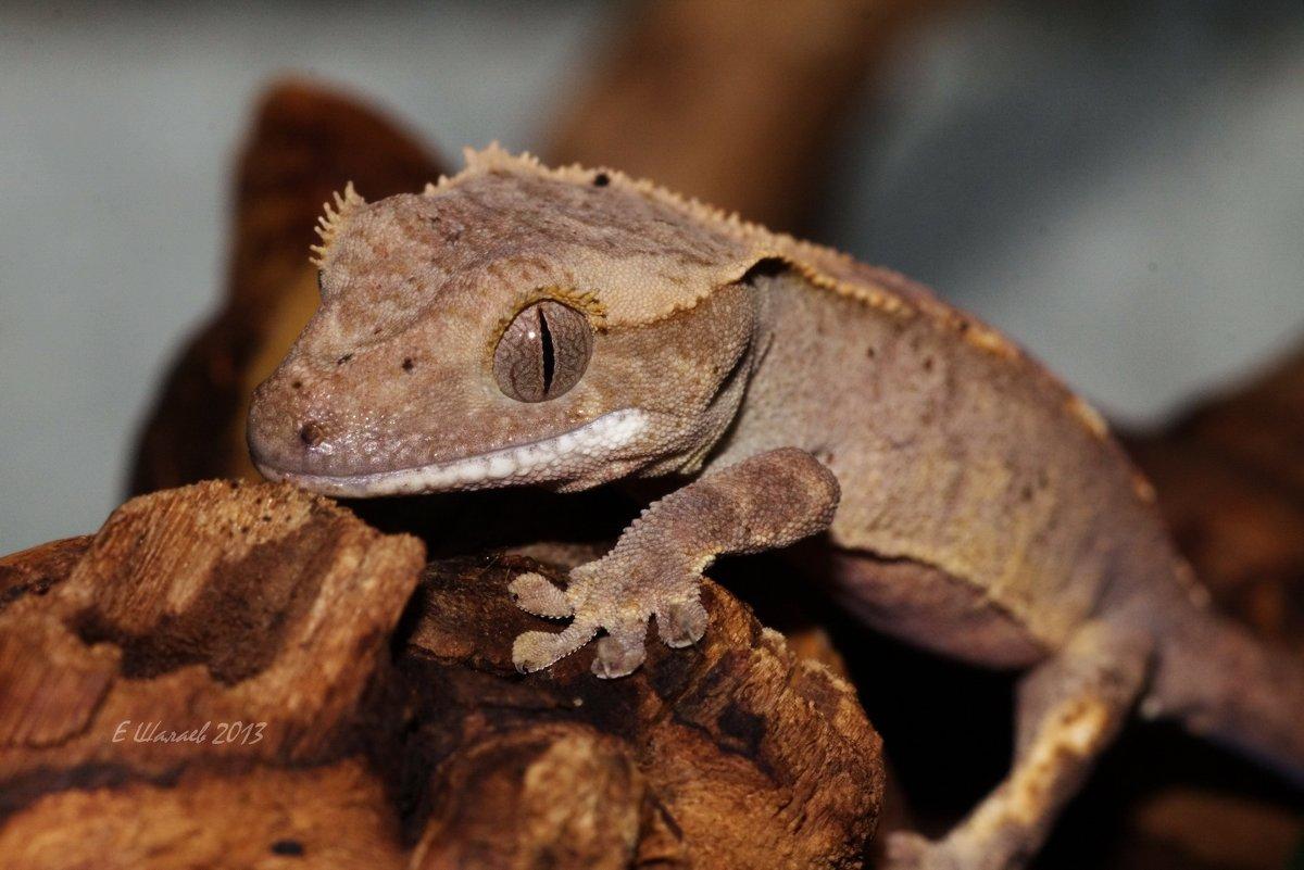 Новокаледонский  реснитчатый геккон - Rhacodactylus ciliatus - Евгений