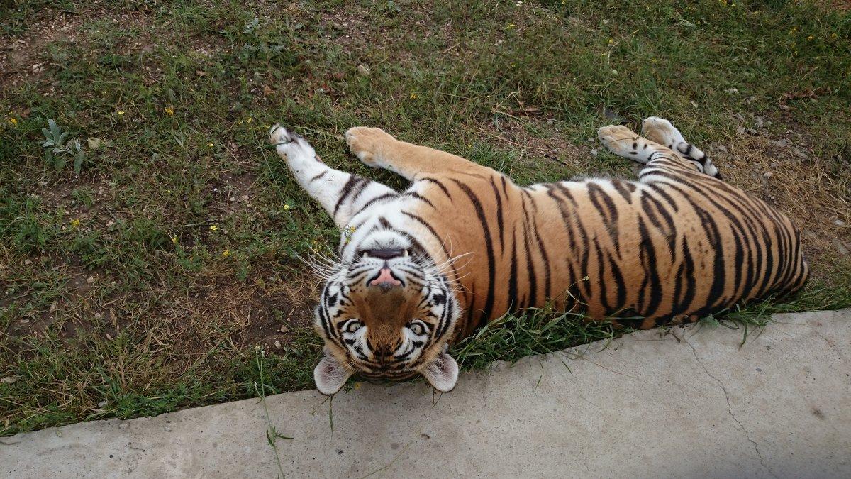 Тигр - Анна Борисова