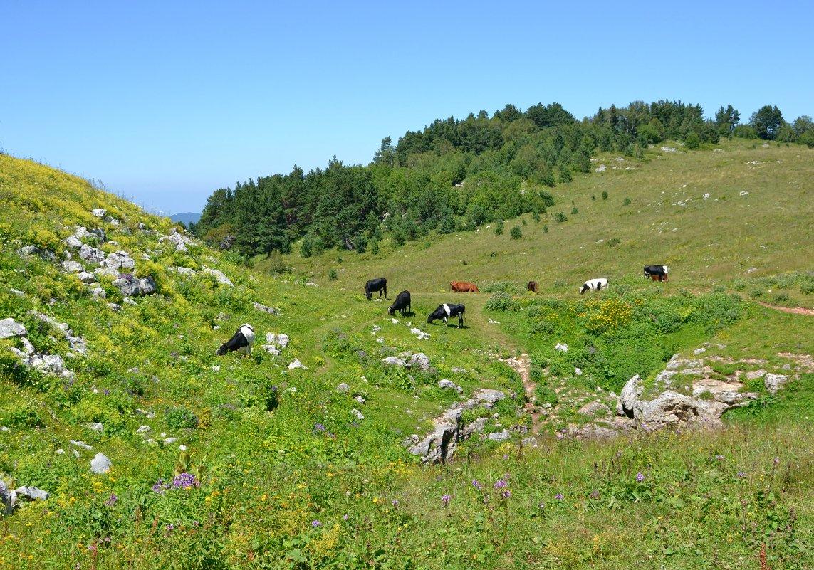 Коровы - zhanna-zakutnaya З.