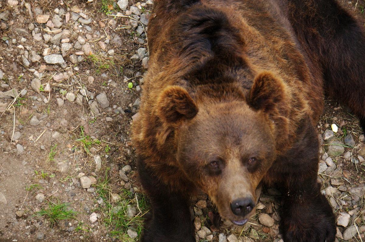 бурый медведь - Валентина Папилова