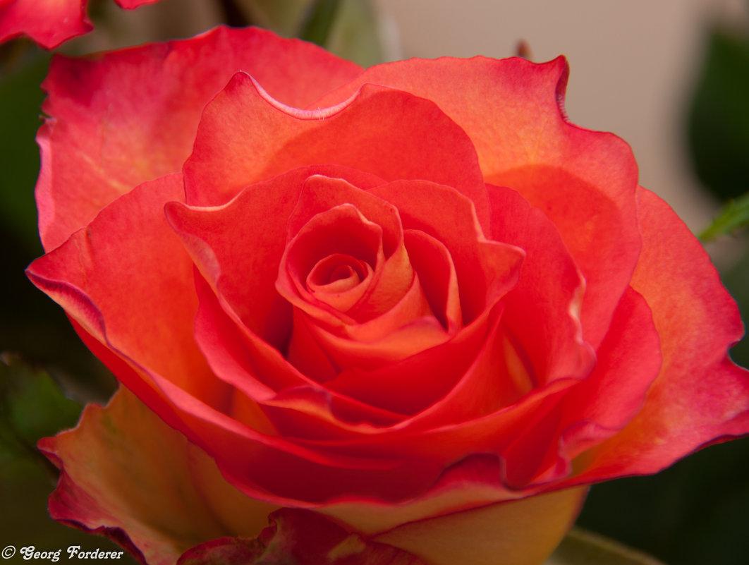 Роза - Georg Förderer
