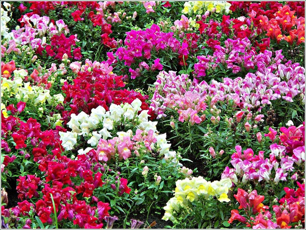 Львиный зев цветов на клумбе 52