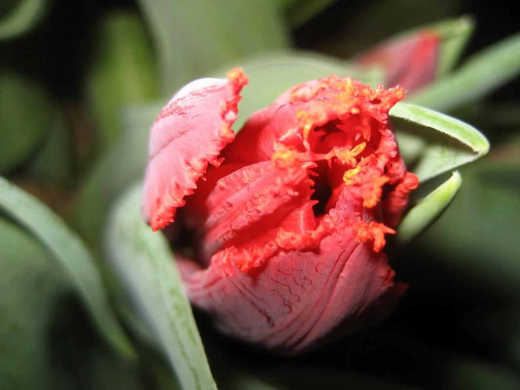 Тюльпан - laana laadas