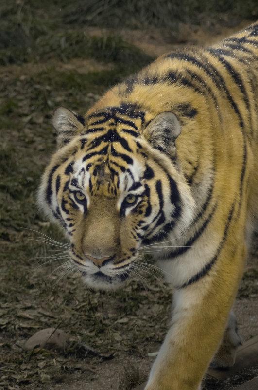 Крадущийся тигр - Денис Белов