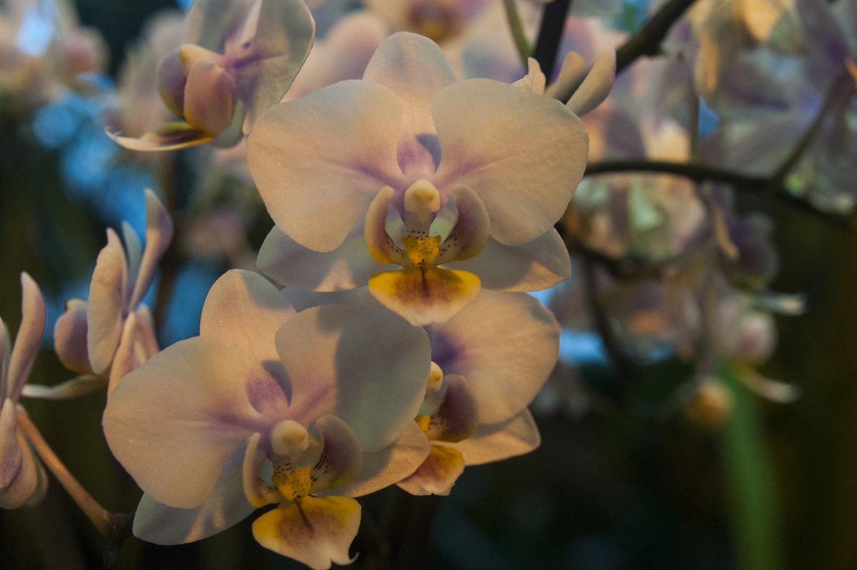 Орхидеи - marmorozov Морозова