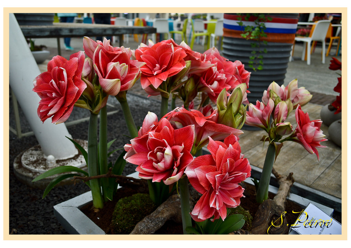 Цветы - Сергей Петров