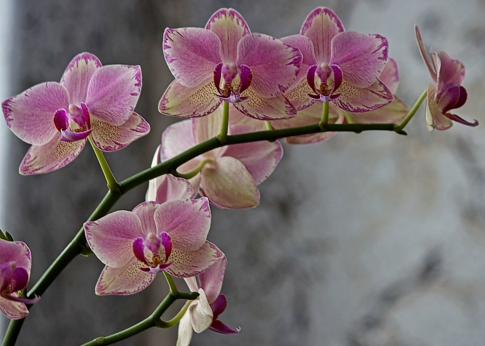 Орхидея фаленопсис Маленькая Каролина - Ирина Приходько