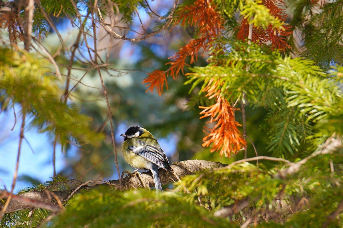Синичка в весеннем лесу - Сергей Беляев