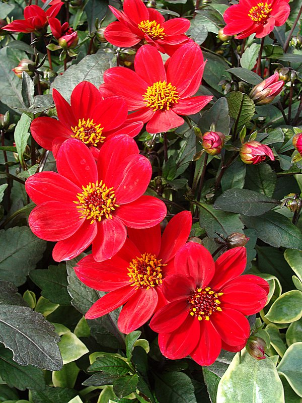 "Dahlia х hortensis "" Happy Day Red "" - laana laadas"