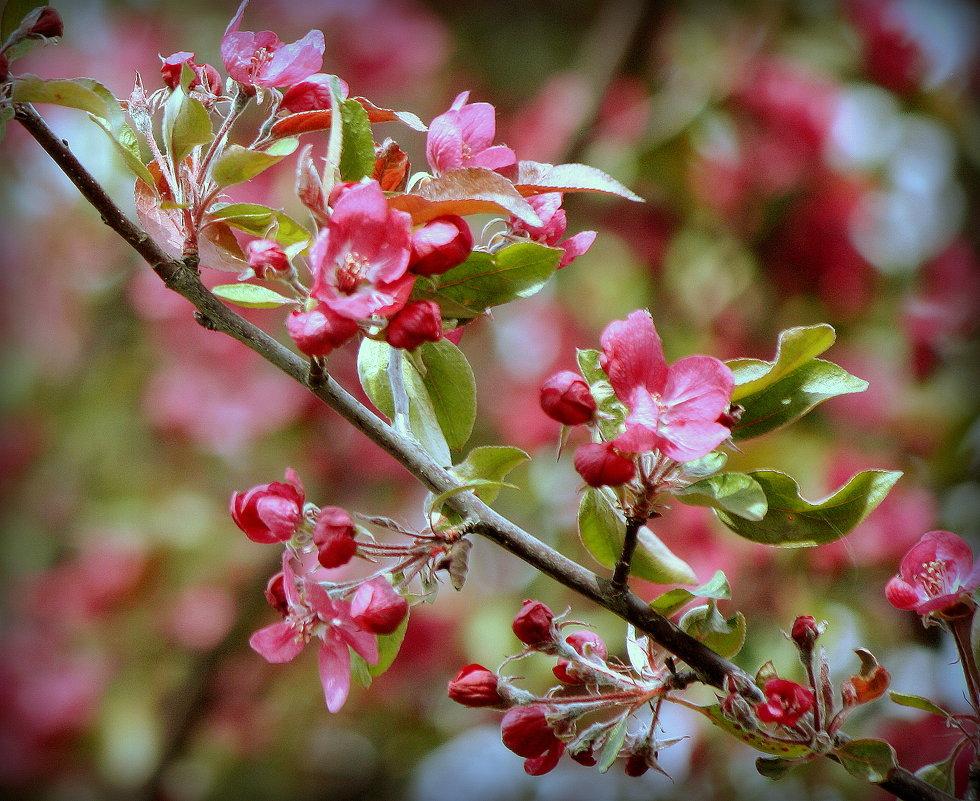 Цвет яблони - Наталия Зыбайло